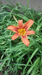 Daylilies - putting their all into one day!